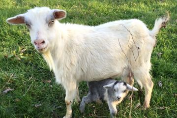 Tennessee Goat parasite-resistant breed