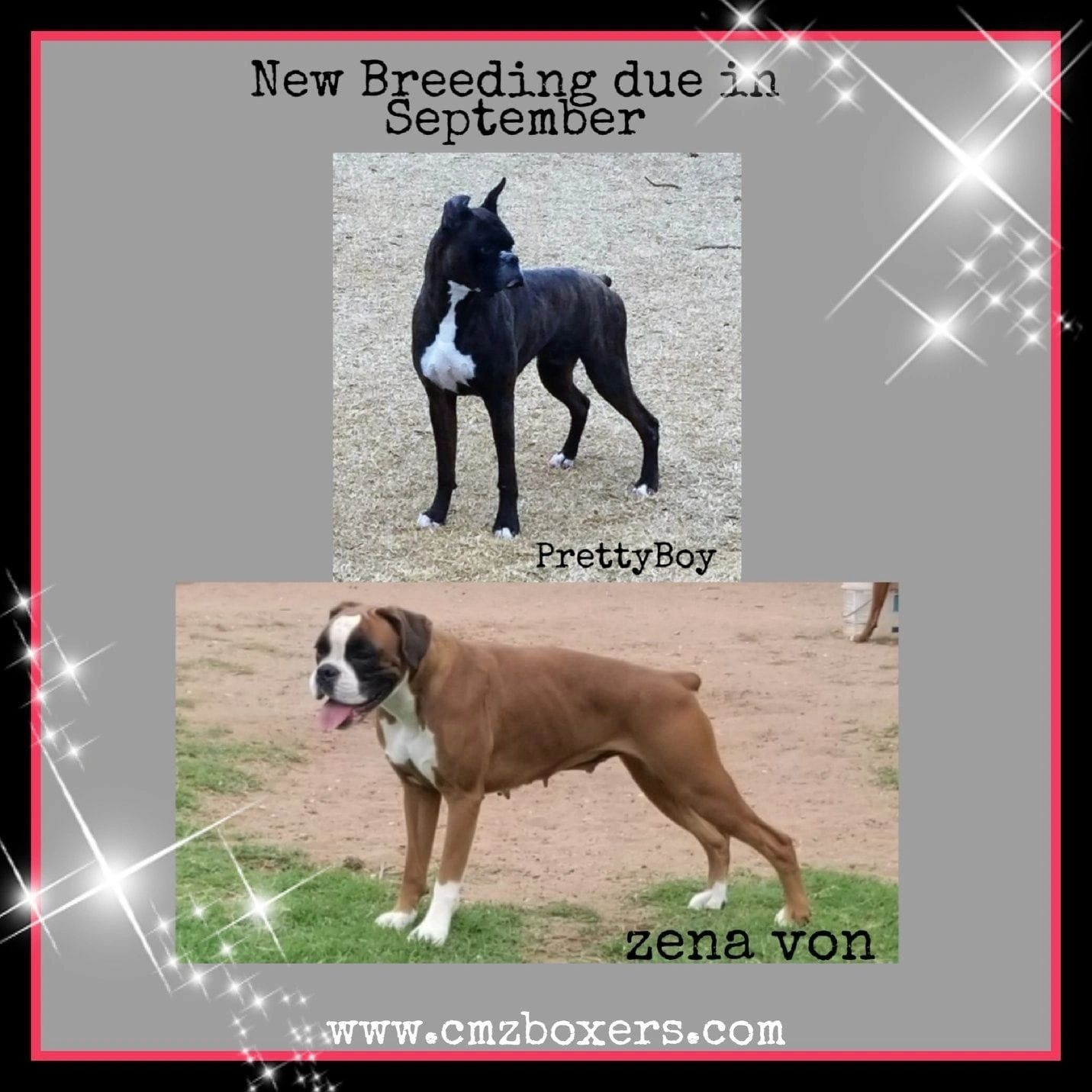 Boxer Puppies in Oklahoma - Boxer Puppies for Sale | Cmz Boxers