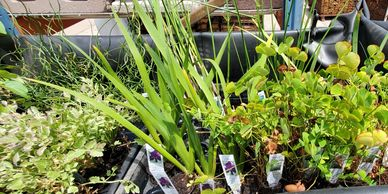 2-inch bog plants for sale in Fort Collins