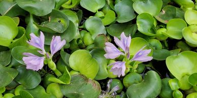 Beautiful water hyacinth bloom among the water plants at Koi Lagoon