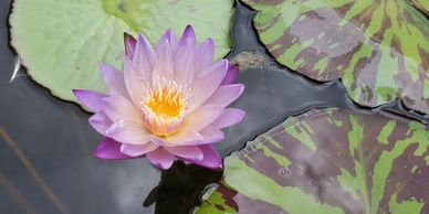 Beautiful color-changing Southern Charm tropical water lily at Koi Lagoon