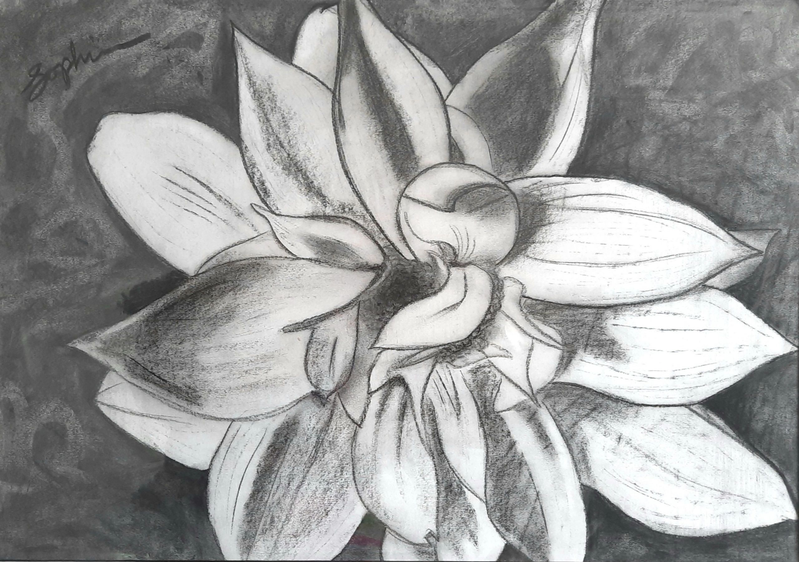 A large unfurling charcoal flower on paper.