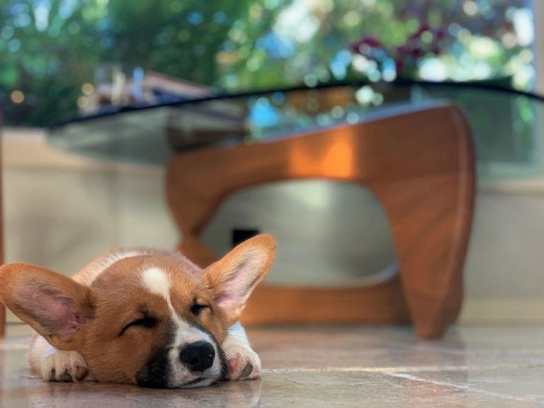 One of our male AKC Corgi puppies from Santa Barbara resting