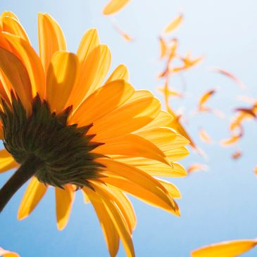 Bright sunflower with petals flying toward vibrant blue sky.