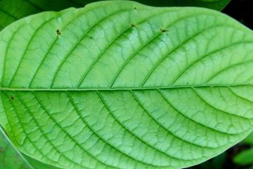 green vein kraotm