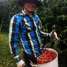 Hand Picking Coffee