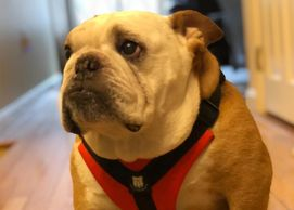 Bulldog Grade Original No Pull Reflective Bulldog Harness - XL - Bulldog Red