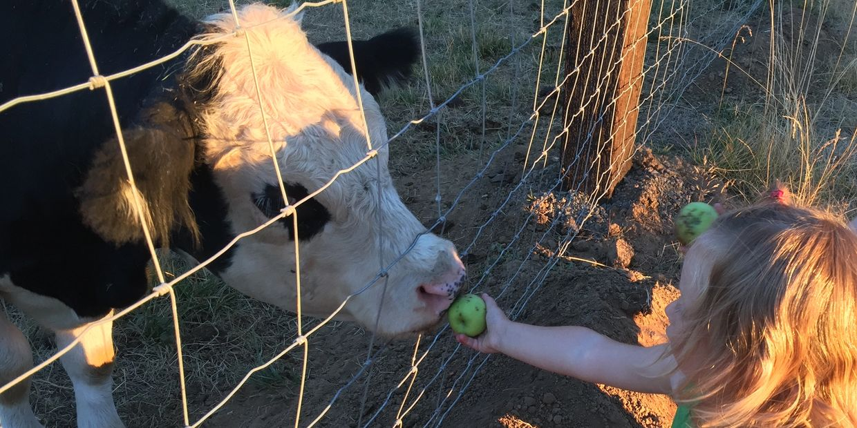 Granddaughter feeding apple to Belted Galloway Cow