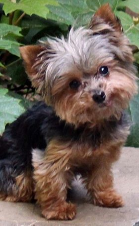 Our mission is to rescue any Yorkshire Terrier or Yorkie mix, regardless of age or condition.