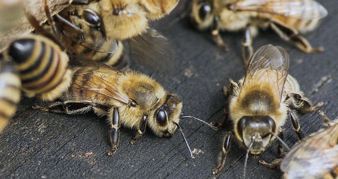 Syracuse Honey - Honey Bee, Removal