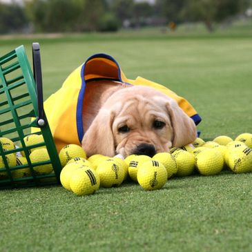 Canine Companion puppy with golf balls