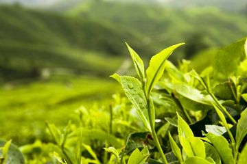 Freshly imported South Asian Green Tea