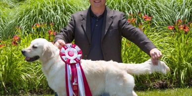 This is our champion English cream golden retriever, Kate. Her puppies are wonderful.