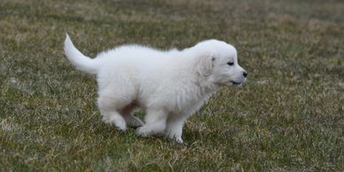 English cream golden retriever puppy running full speed! These puppies are sure to be adorable!