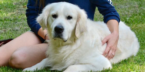 This is Tristan, one of our english cream golden retriever stud dogs.