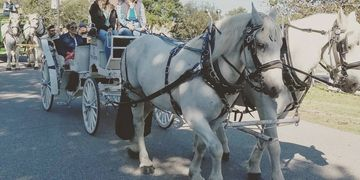 Vis a vis limo, percheron team, horse drawn carriage, parades