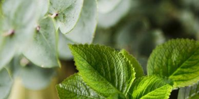 Our Eucalyptus and Mint is a refreshing Spa-Like scent. While Eucalyptus clears the mind, Mint uplif