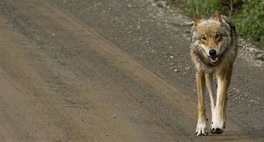 https://www.alaskapublic.org/2019/10/25/denali-wolf-sightings-hit-record-low/