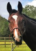 Hanoverian warmblood horse for sale - Show Jumping and Hunter - FEI International
