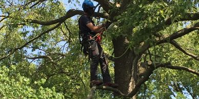 Tree climber pruning a tree