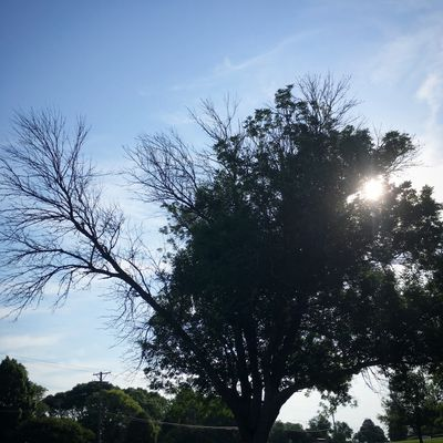 Ash tree dying from Emerald Ash Borer