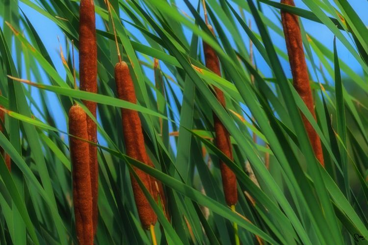 Bull Rush's in Tall Grass, Avon River, Perth County, Ontario