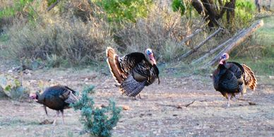 Gobblers strutting and eating.