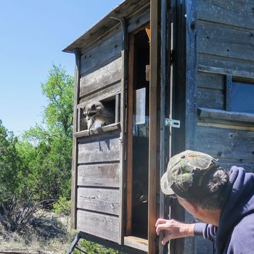 Raccoon coming out of a hunting blind window while hunter holds door open and waits.