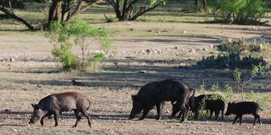 Feral pigs looking for food.