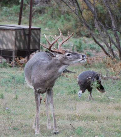 WT Buck and turkey at a ground feeder