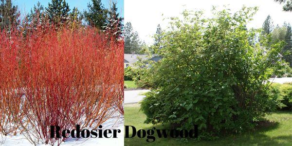 Karsten Nursery - Hybrid Willow, Hybrid Willow, Fast Growing