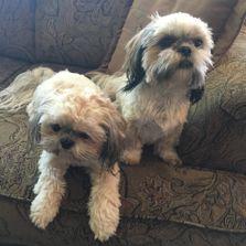 About Us Jans Shih Tzu Puppies