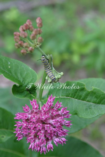 Purple milkweed monarch host plant with young monarch caterpillar feeding on native plant