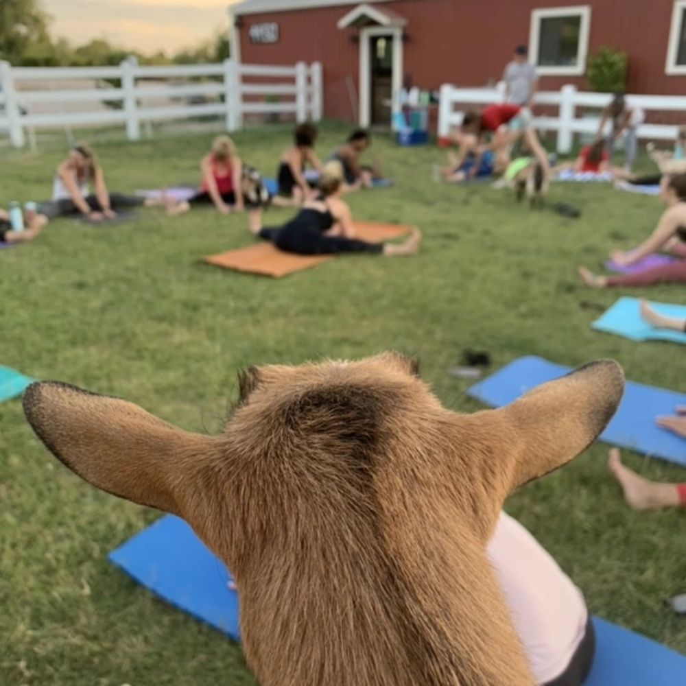 Yoga sessions with Goats of Tucson Yoga