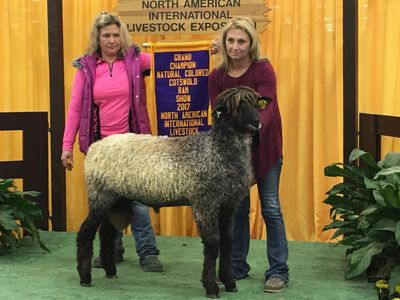 """Tobias""  National Natural Colored Cotswold Champion Ram"