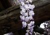 Wisteria/Japan - Appeared in The Japan Times