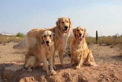 Isabella, Bones, and Carly, three Golden Retrievers posing for their picture  on our photo-op mound!