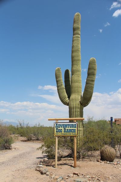 The majestic Saguaro cactus that marks the entrance to Tucson Adventure Dog Ranch.