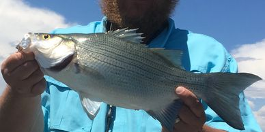 Colorado White Bass Fishing Guide Service Northern Colorado Fishing  Fort Collins  Loveland Guide