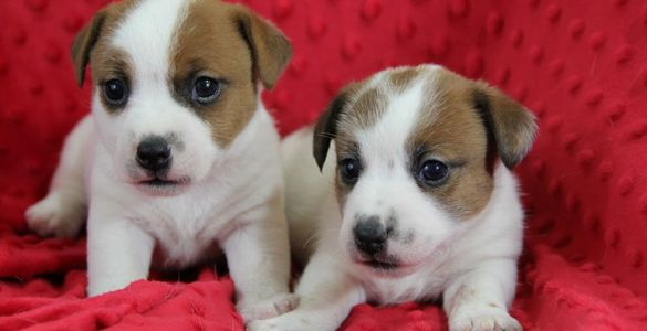 Shorty Jack Russell Terriers Puppies