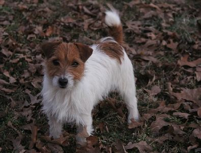 shorty jack russell terrier rough coat