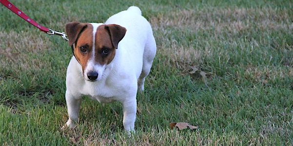 Shorty Jack Russell Terrier