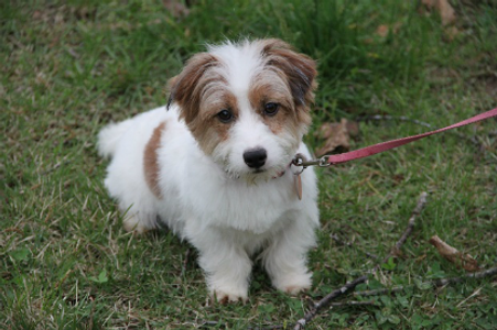 jack russell terrier shorty