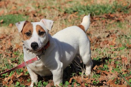jack russell terrier for stud arkansas