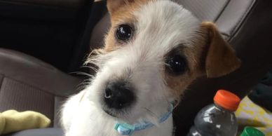 jack russell terrier puppy for sale