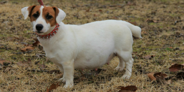 shorty jack russell terrier smooth coat