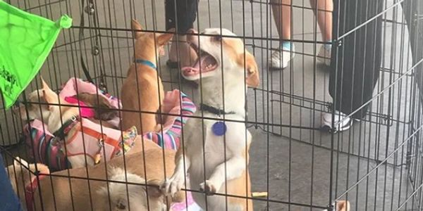 dogs in pen at adoption event