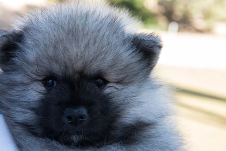 Keeshond puppies are fun and active . Their main job is to be a loving and loyal family member.