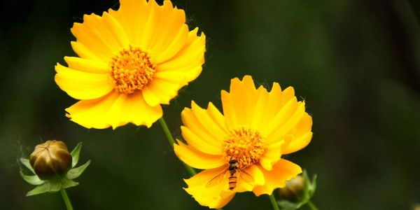 Coreopsis, also known as tickseed