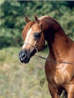 Cytosk, Stallion, Arabian Horse